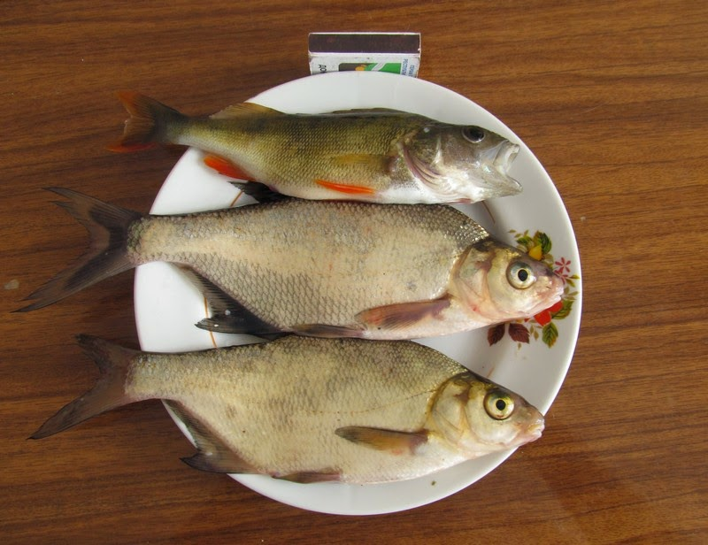клев рыбы во  болхове
