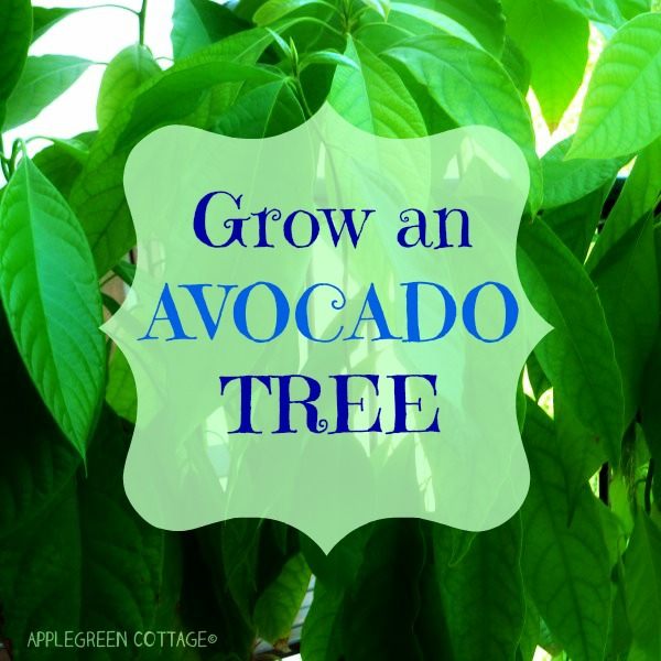 How to grow an avocado tree applegreen cottage for How do you grow an avocado seed