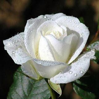 Bunga mawar putih yang segar