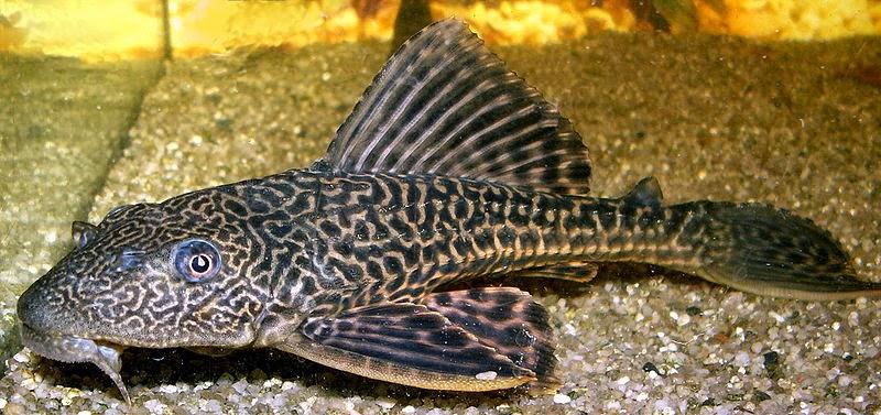 giant plecostomus