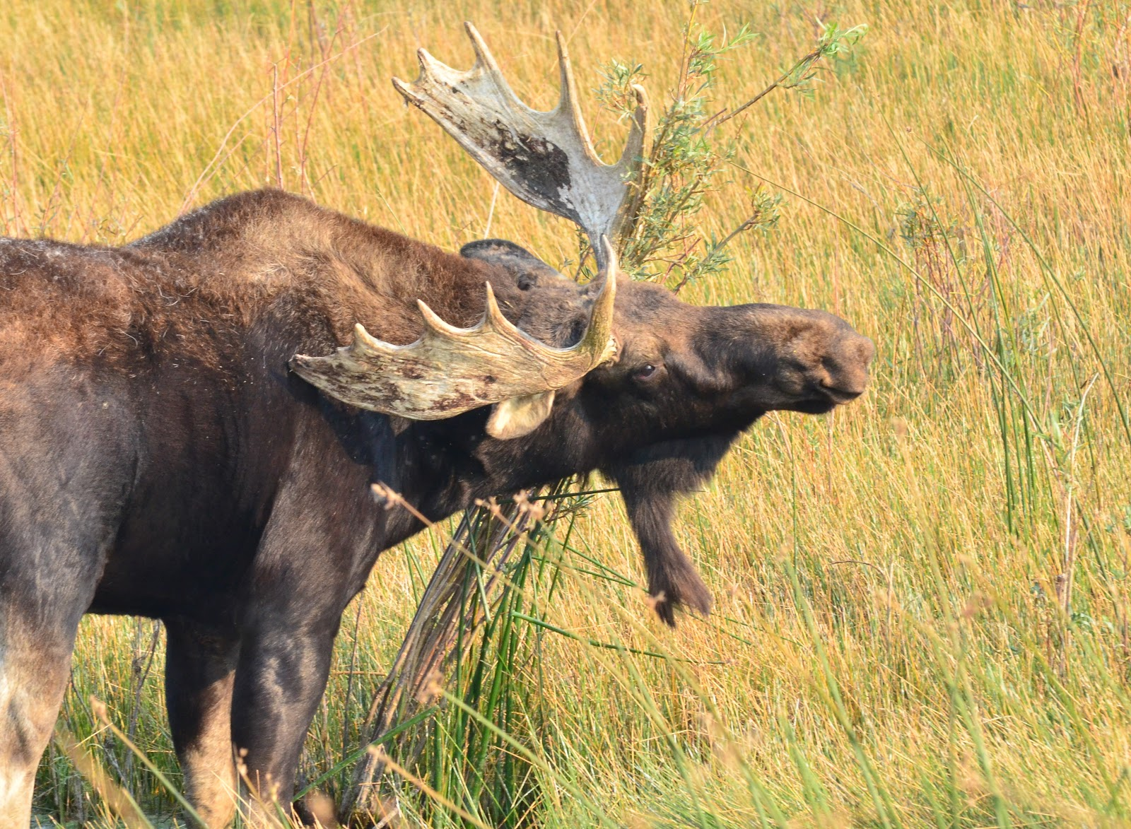 Average Weight Of Bull Moose http://mktest.net/LineName/bull-moose-fight