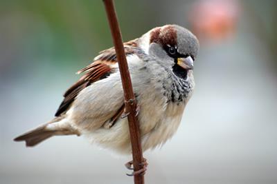 oeuf sparrow