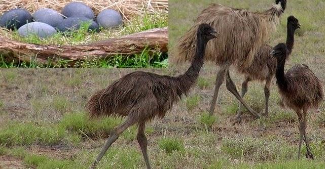 Emu Oil For Headache Shingles Joint Pains Lipid