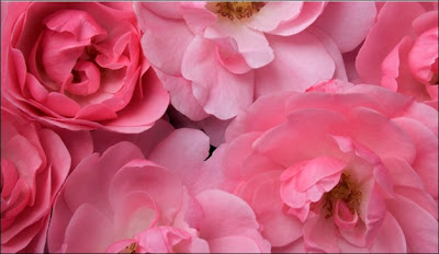 light pink rose wallpaper
