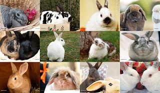 Klasifikasi Ilmiah Kelinci