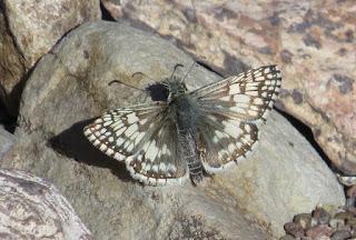 Pyrgus albescens, White Checkered-Skipper