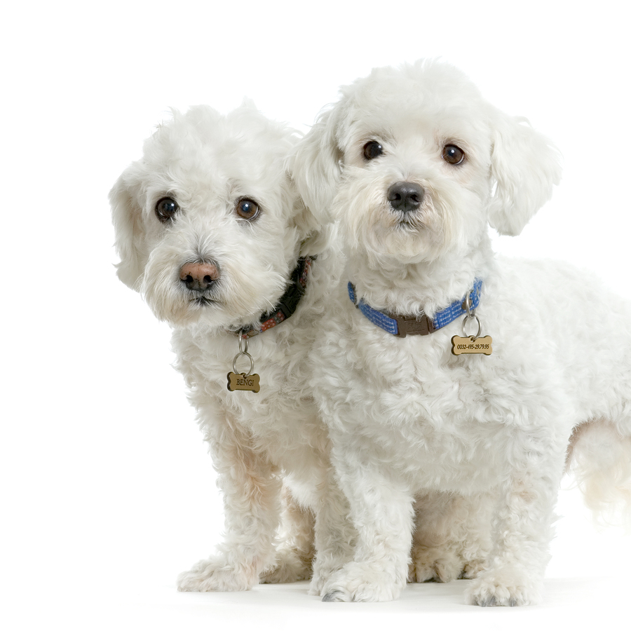 Toy Breed Dogs : Cute puppies and dogs maltese toy dog breed
