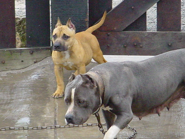 American Bully Ces Canil Filhotes Blue Lilac Chocolate Canil