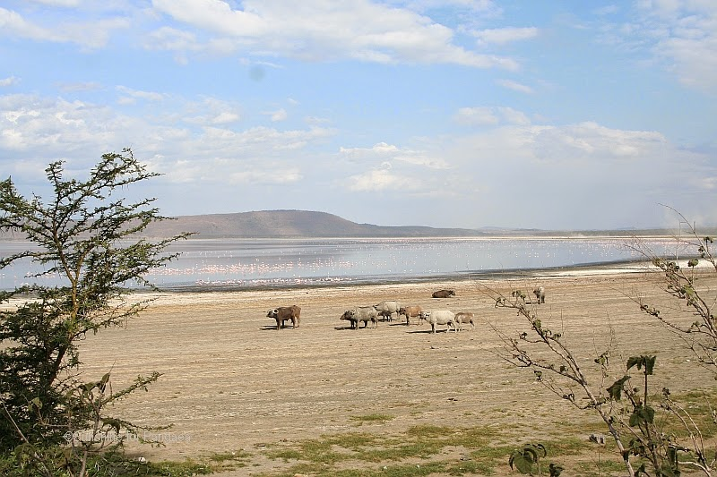 The shoreline of lake nakuru with buffaloes