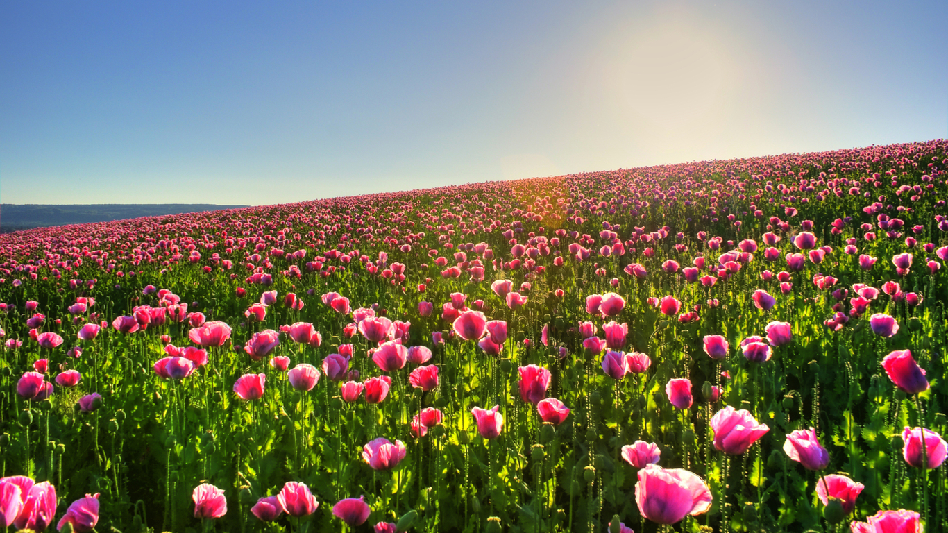 flower field wallpaper hd