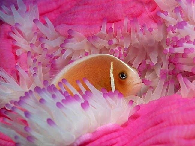 أجمل الأسماك الاستوائية الملونة   - صفحة 2 Colorful-tropical-fishes-09
