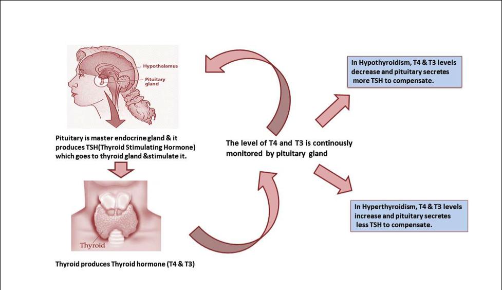 conclusion of thyroid disease Hyperthyroidism, goiters, gaba - hyperthyroidism: thyroid disease and the heart.