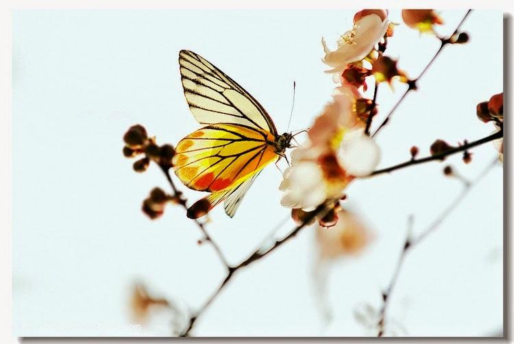 Con bướm xuân 3