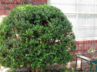 Divasofthedirt,boxwood to tame