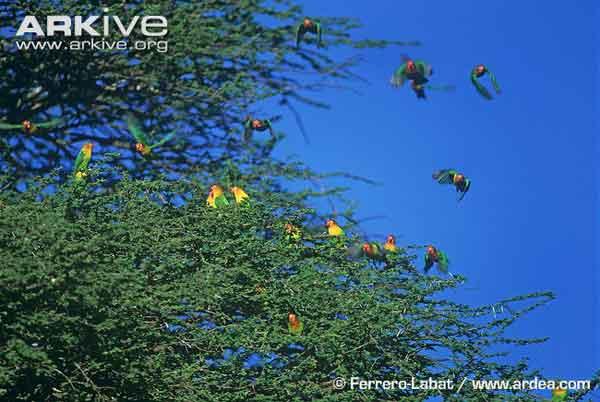 Pohon Rindang Dan Segar Menjadi Sasaran Habitat Lovebird