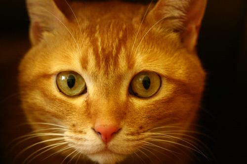 Aprendiz del Clan de la Sombra Mirada-gato-naranja