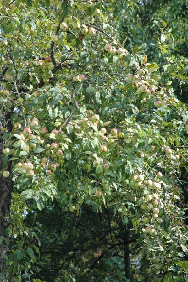 яблоки в Киеве