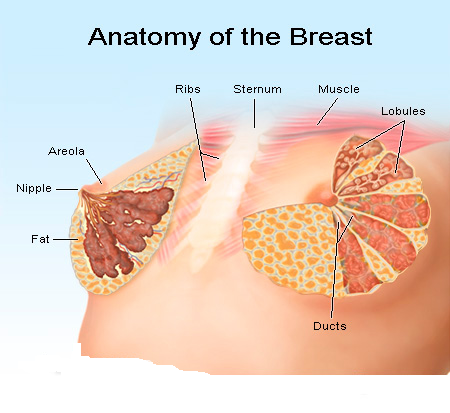 Female Body Parts Breast Structure Function with Images Hindi