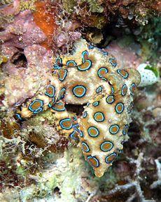 Foto Gurita Cincin Biru (Blue-Ringed Octopus)