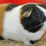 Tips to Maintain Guinea pigs - 7 Ways to Take Care of Guinea pigs