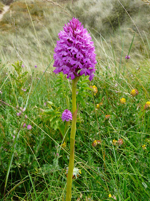 Pyramidal Orchid, Birkdale