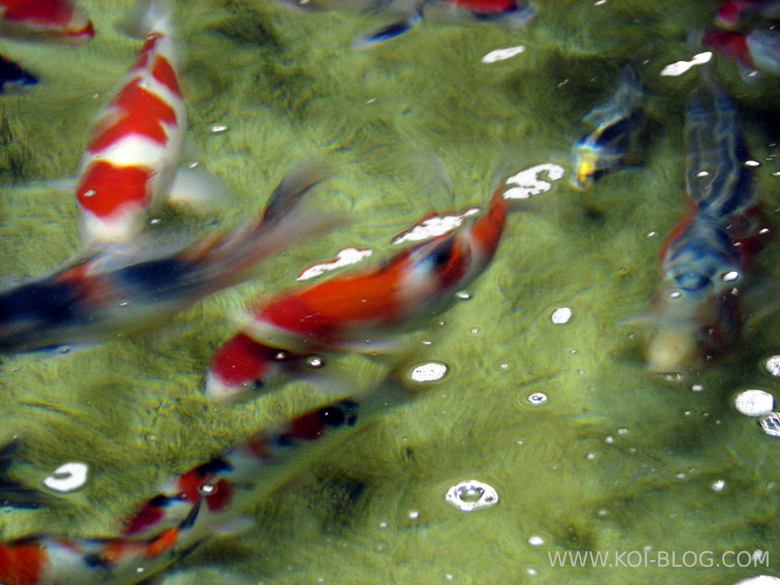 Koi blog koi fish varieties for Koi carp varieties