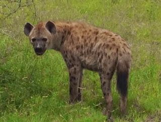 hyena Krugerpark