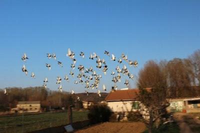 Carrera de palomas