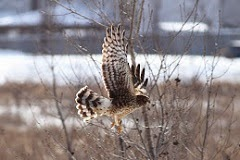 Northern Harrier (adult female)