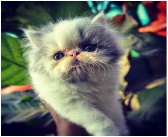 kucing lucu persia peak nose