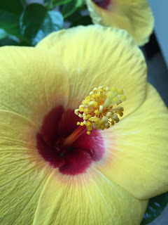 Yellow Hibiscus Flower