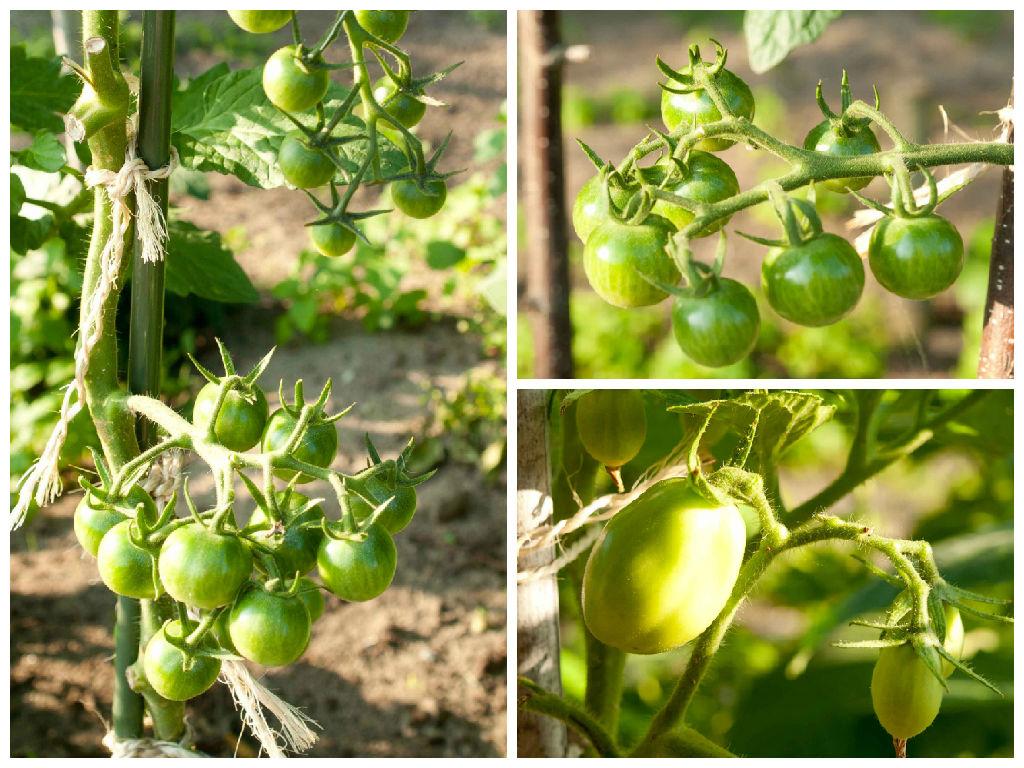 moneymaker tomaat tomaten roma volkstuin moestuin