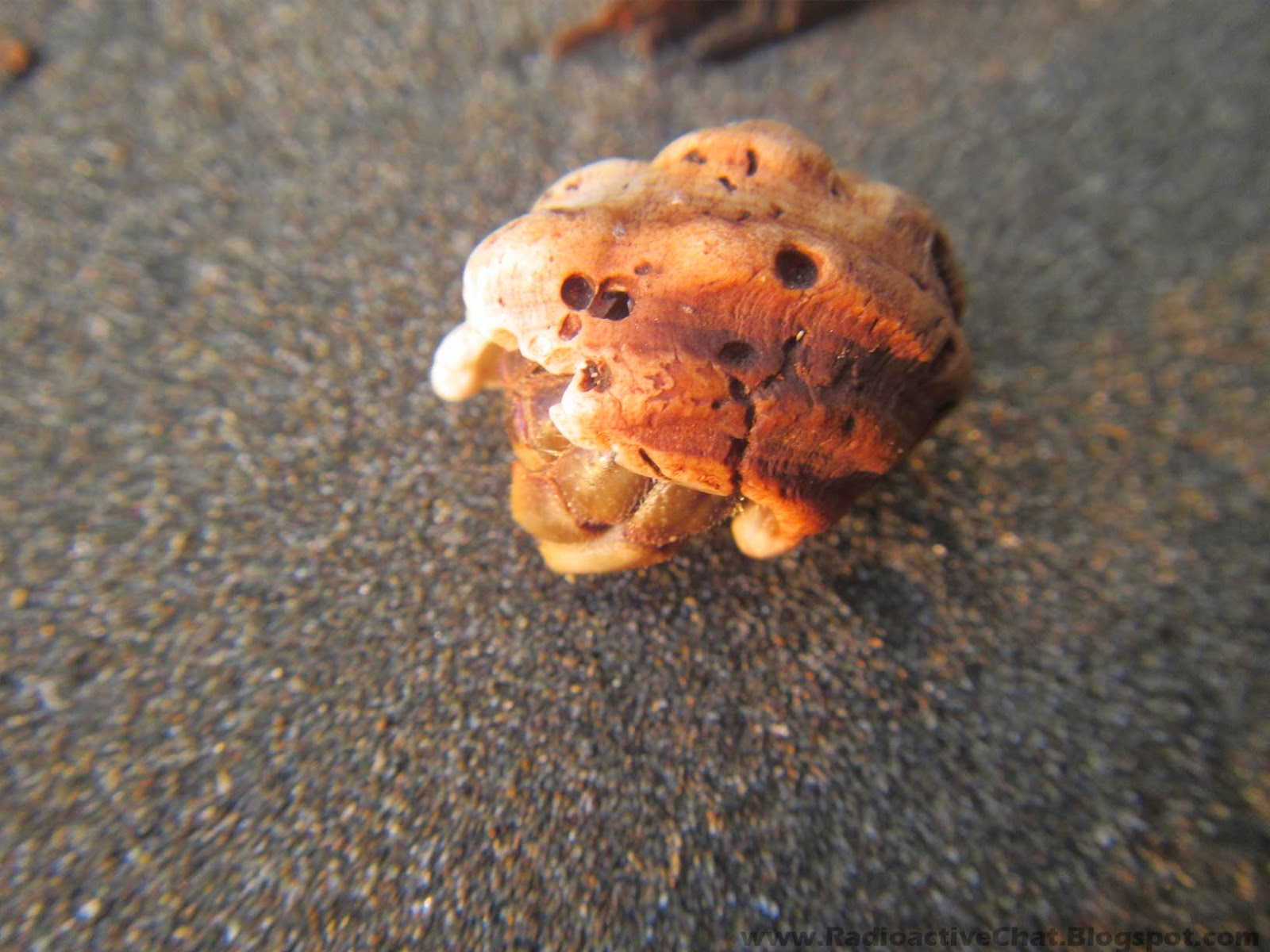 Costa Rica Pacific Coast Mutated Coenobita Clypeatus Hermit Crabs Photo 4