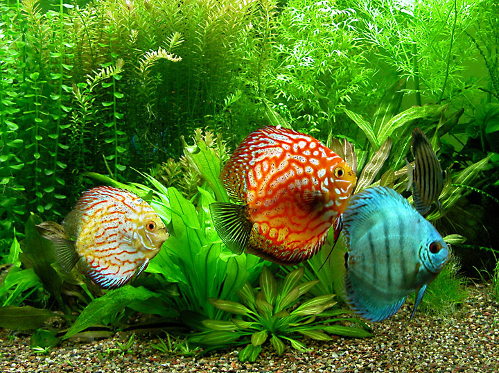 Fish Species N 3 Discus Symphysodon Discus Feast