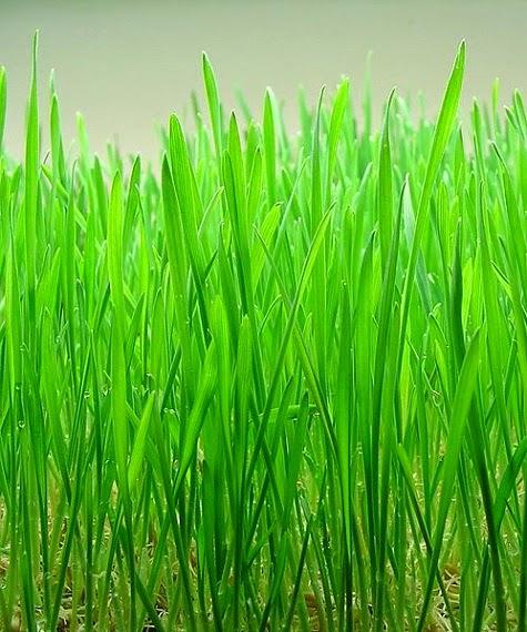 4 Manfaat Jus Wheatgrass Bagi Kesehatan