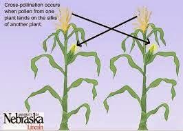 anemogamy on corn trees