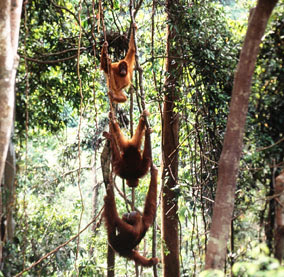 SUMATRAN ORANG UTAN (FAMILY GROUP)