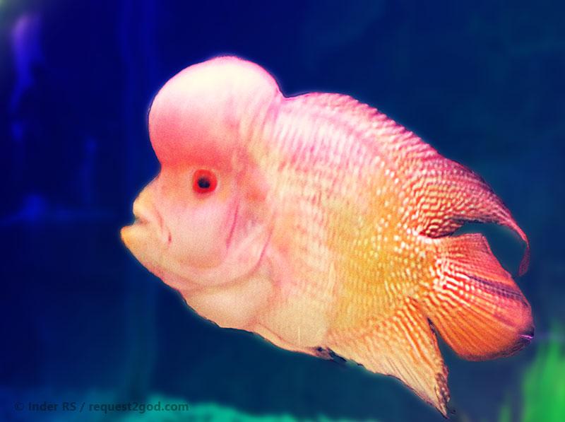 Pin baby flowerhorn on pinterest for Flower horn fish