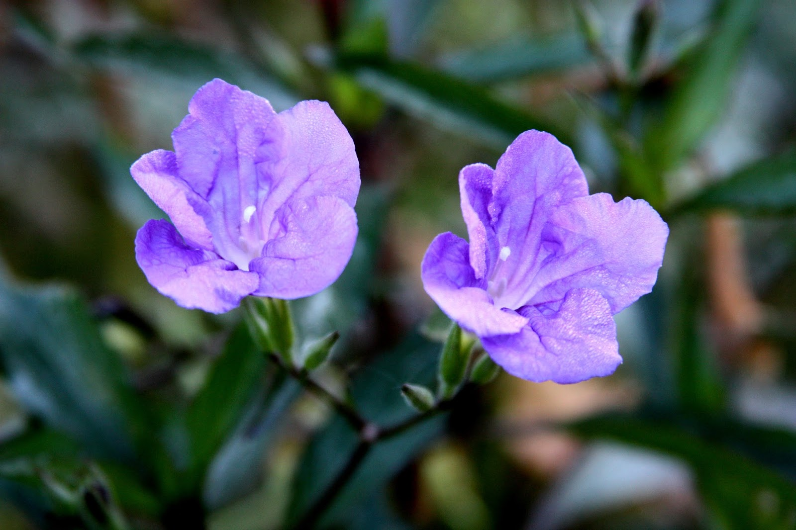 All The Dirt On Gardening Ruellia Mexican Petunia Fall Flowers
