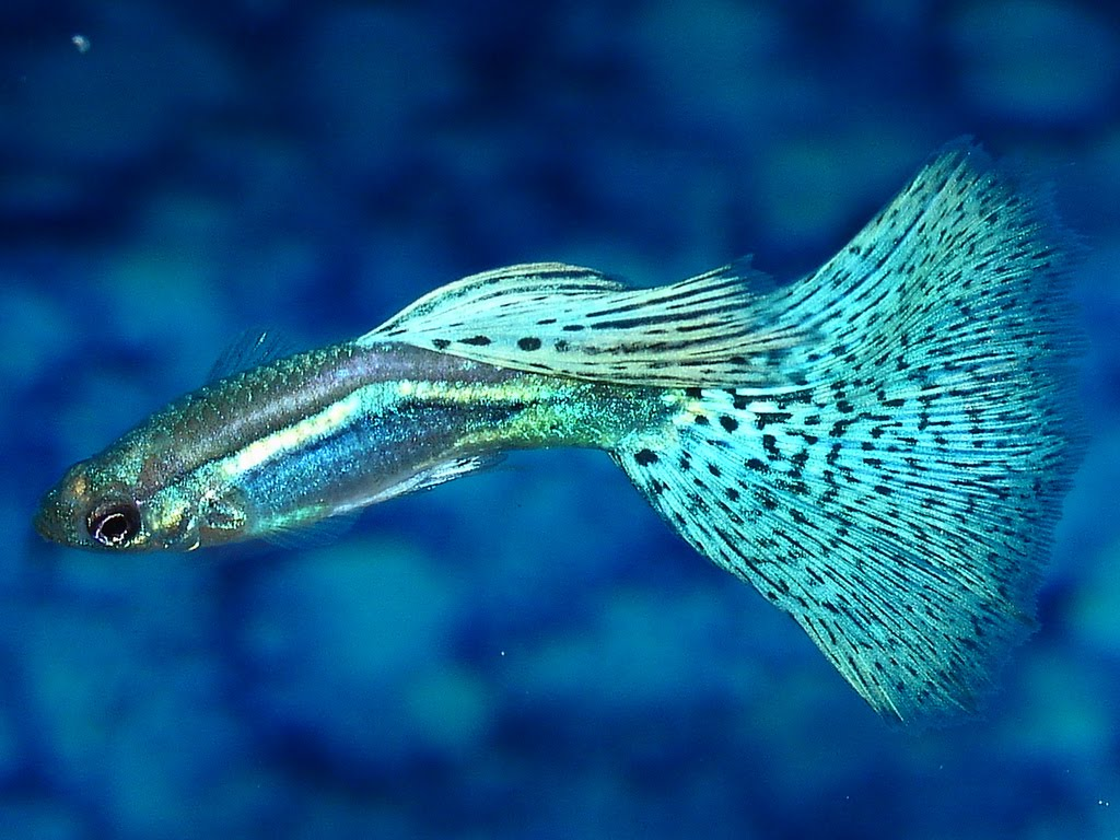 Nature 39 s beauty images for Fancy guppy fish