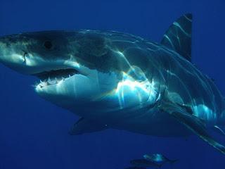5 Besar Hiu Paling Mematikan di Dunia
