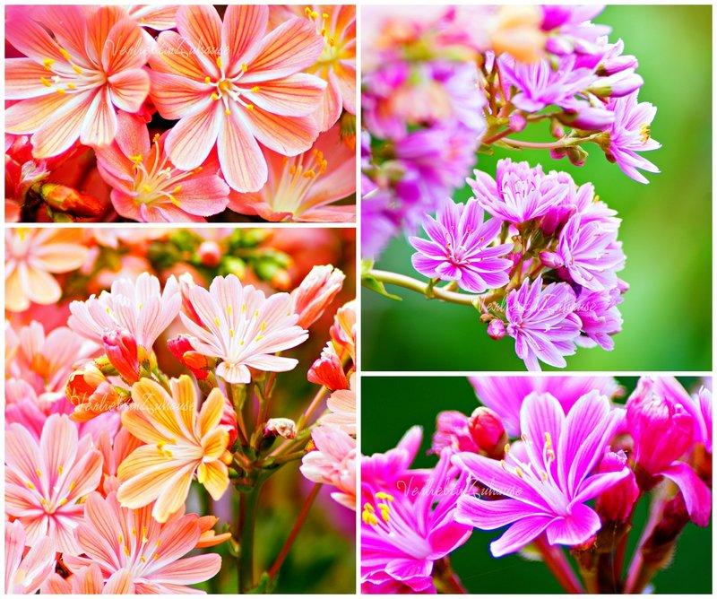 Fotocollage Porzellanröschen (Bittewurz) in verschiedenen Farben
