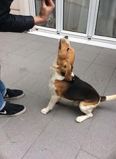Βέθηκε αρσενικό beagle με scalibor στο Παλαιό Ψυχικό δίπλα από το Αττικό άλσος. Τον ψάχνει κάποιος?