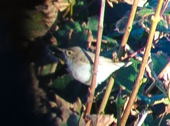 Booted Warbler - Gramborough Hill, Norfolk