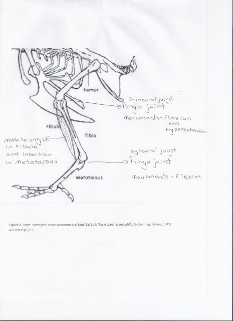 chicken thigh diagram