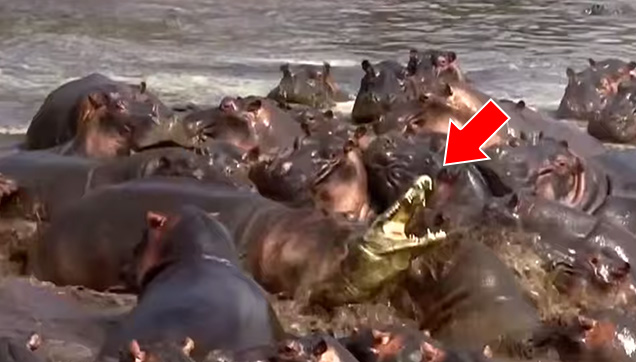 A crocodile stuck at the middle of the herd of hippos.