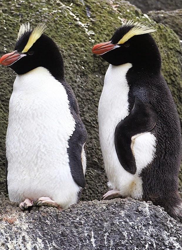Erect-crested penguins