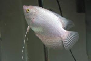 Jenis dan Macam Ikan Gurame