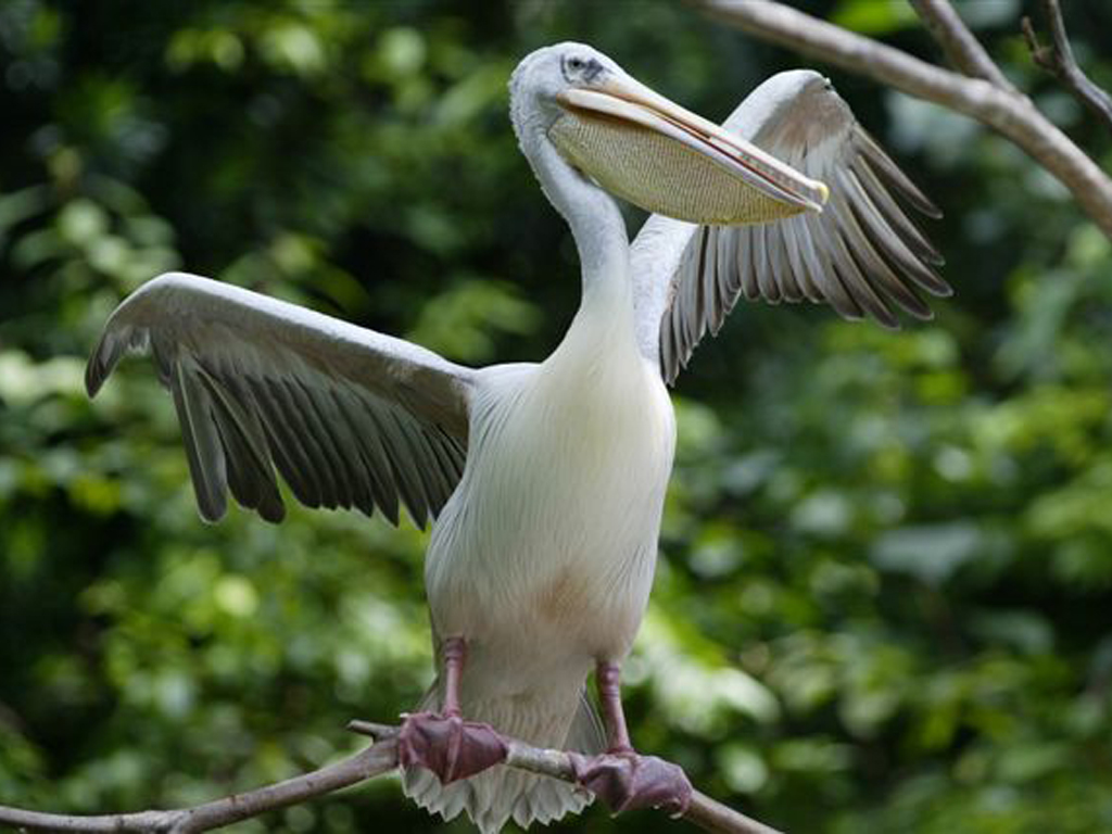 Aparecen pel canos muertos en las playas de per ibweb - Fotos de pelicanos ...