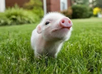 anak babi berwarna pink